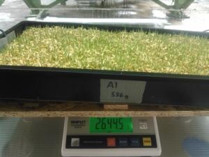 SIMOC at Biosphere 2 - barley at day 5, by Kai Staats