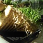 SIMOC at Biosphere 2 - barley root mass, by Kai Staats